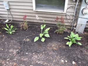 Transplanted Astilbe's from the garage and Mary's hostas cut up